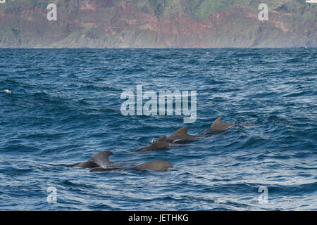 Short-finned pilot whale group, Globicephala macrorhynchus, surfacing, showing dorsal fin, with Island of Madeira - Stock Image