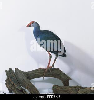 Side View of Purple Gallinule - Stock Image