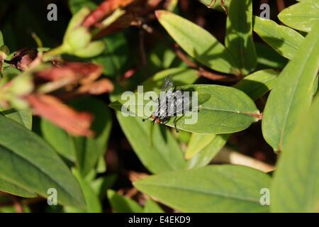 Flesh fly Sarcophaga sp. on leaf UK - Stock Image