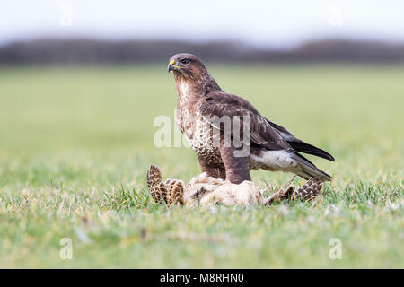 Common Buzzard (Buteo buteo) feeding on a pheasant - Stock Image