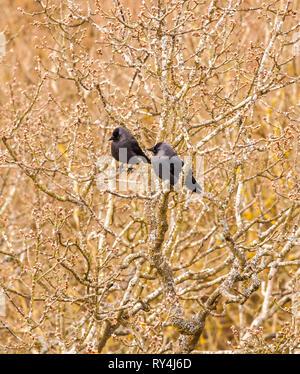 Jackdaws Jackdaw Corvus monedula  roosting in a tree in wintertime - Stock Image