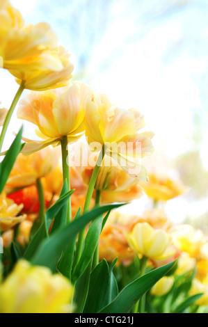 yellow tulips - Stock Image