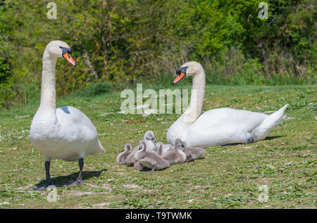 White Mute Swan cygnets (Cygnus olor) sitting on land with adults in Spring in West Sussex, England, UK. Young baby cygnets, newly born. - Stock Image