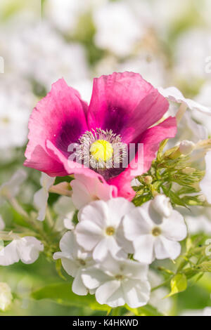 pink poppy flower with white phlox - Stock Image