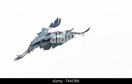 Grey Heron using its wings to reduce speed before landing. - Stock Image