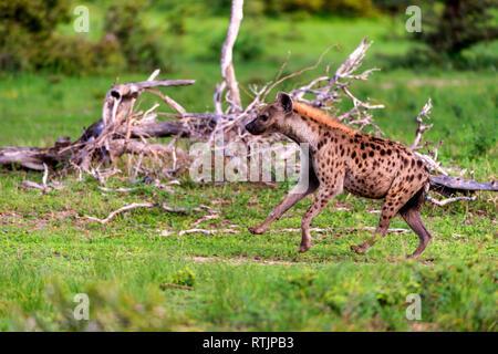 spotted hyena (Crocuta crocuta), Tanzania, East Africa - Stock Image