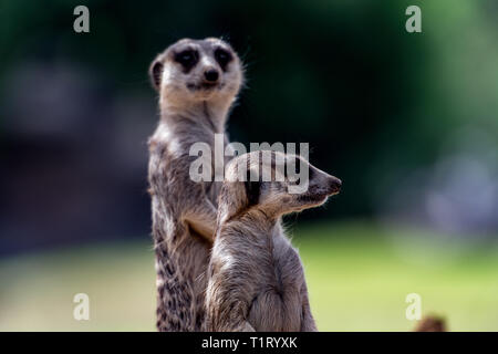 Two meerkats stand guard on sentry duty protecting their clan. - Stock Image