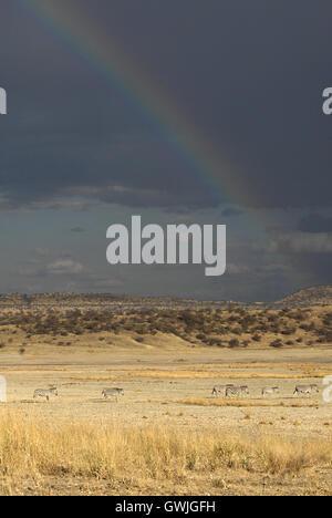 Zebras walking under a rainbow. Vertical - Stock Image