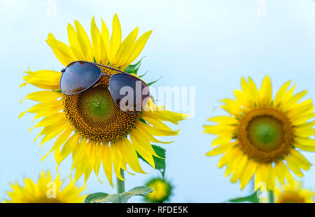 Beautiful sunflowers wear sunglasses in sunny days at the flower garden. Funny abstract picture of diversity of life - Stock Image
