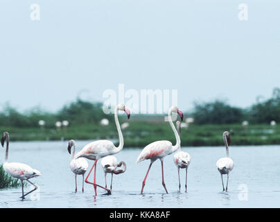 mixed group of Greater Flamingo,(Phoenicopterus roseus) and Lesser Flamingo, (Phoenicoparrus minor),   Gujarat, - Stock Image