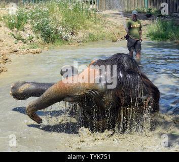 Usti Nad Labem, Czech Republic. 26th June, 2019. Breeder Petr Kiebel showered Asian elephant (Elephas maximus) female Delhi in the Usti nad Labem Zoo, Czech Republic, on June 26, 2019. Credit: Libor Zavoral/CTK Photo/Alamy Live News - Stock Image
