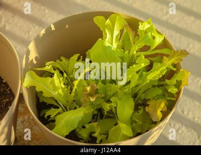 Organic green lettuce, food - Stock Image