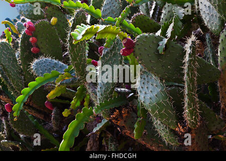 A CACTUS GARDEN in historic MINERAL DE POZOS which was once a large mining town - MEXICO - Stock Image