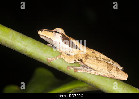 Dark-eared Tree Frog (Polypedates macrotis) in rainforest at night - Stock Image