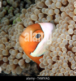 Saddleback Anemonefish (Amphiprion polymnus) in an Anemone. Anilao, Philippines - Stock Image