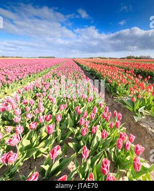 Panorama of multicolored tulips during spring bloom, Oude-Tonge, Goeree-Overflakkee, South Holland, The Netherlands, Europe - Stock Image