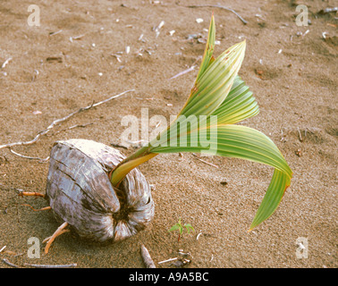 Young coconut seedling on Caribbean beach - Stock Image