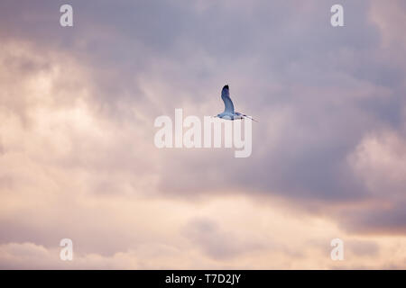 Seagull flying and hovering against a moody dramatic cloudy sky background - Stock Image