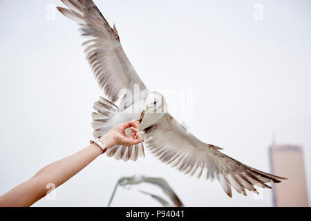 Detail of a person's hand holding a piece of dried fish and a Seagull feeding on it with its wingspan fully spread. - Stock Image
