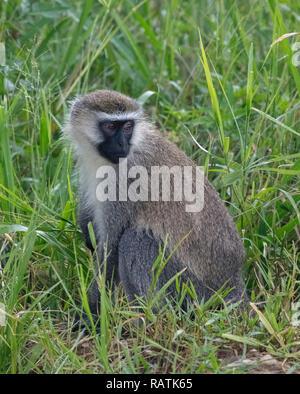 The vervet monkey (Chlorocebus pygerythrus), Queen Elizabeth Park, Uganda, Africa - Stock Image