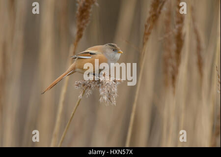 Bearded tit or bearded reedling (Panurus biarmicus) adult female feeding on seedhead of common reed. Norfolk, England. - Stock Image