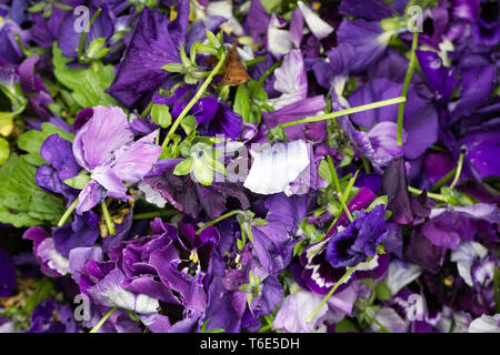 Old Pansy flowers after deadheading. Viola × wittrockiana. - Stock Image