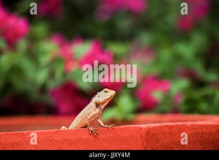 Indian Garden Lizard, Oriental Garden Lizard, Eastern Garden Lizard or Changeable Lizard , (Calotes versicolor), - Stock Image