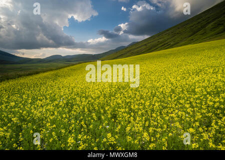Flowering lentils and the Monte Sibillini Mountains, Umbria, Italy, Europe - Stock Image