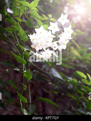 Wild white flower growing as part of a climbing plant - Stock Image