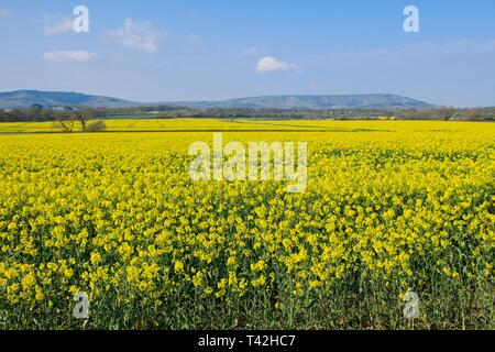 Polegate, UK. 13th Apr, 2019. UK weather.Blue skies this morning over rape seed fields in Polegate looking towards the South Downs.Polegate, East Sussex, UK. Credit: Ed Brown/Alamy Live News - Stock Image