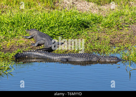 American Alligators (Alligator mississippiensis) bask in the sun in Kissimmee Prairie Preserve State Park in Florida. - Stock Image
