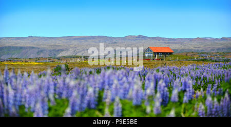 A small house with a field of Lupins int he foreground - Stock Image