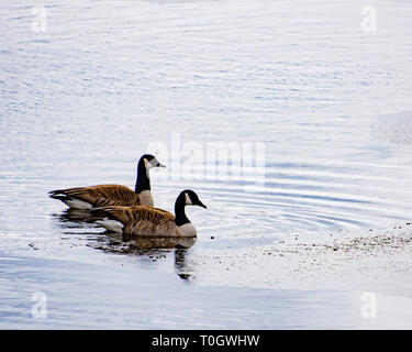A pair of Canada geese on the edge of Lake Pleasant, NY USA in late winter with floating ice. - Stock Image