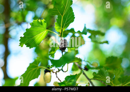Ripe black mulberry (Morus nigra) fruit among a foliage of a plant, bathed in warm sunlight. A beautiful bokeh is visible in a background. - Stock Image
