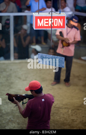 Two Filipinos prepare their fighting cocks for a fight at a cockhouse in Mansalay, Oriental Mindoro, Philippines. - Stock Image