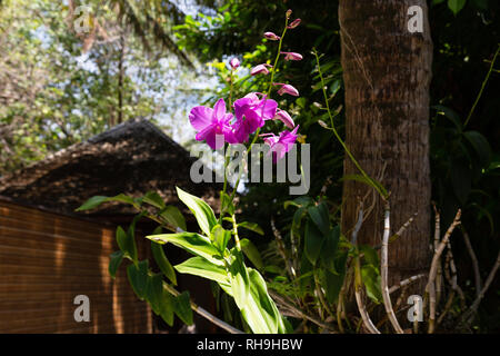 The Maldives - Orchids growing and flowering, Veligandu Island, Rasdhoo atoll, The Maldives, Asia - Stock Image