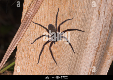 Tropical rain-forest spider, Borneo - Stock Image