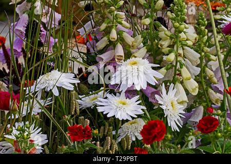Close up of Leaucanthemum x superbum 'Wirral Supreme' in a flowr border - Stock Image