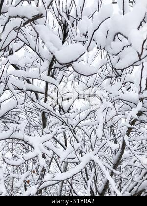 Snow covered branches - Stock Image