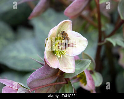 Helleborus  Pink Frost flower in the garden with bee collecting pollen - Stock Image