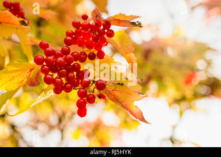 Berries on branch - Stock Image