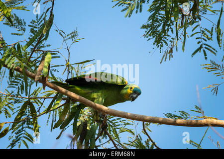 Wild Blue-fronted Amazon Parrot, Amazona aestiva, perched on the branch of a tree in the Pantanal, Mato Grosso, - Stock Image