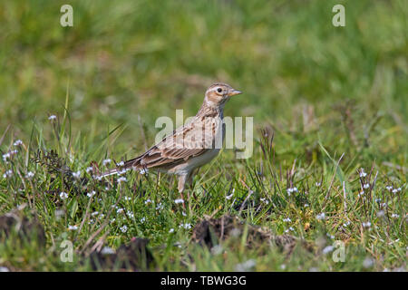 Eurasian skylark (Alauda arvensis) foraging in field / meadow in spring - Stock Image
