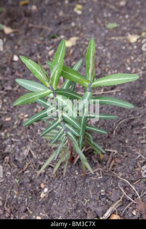 Euphorbia lathyris (Caper Spurge or Paper Spurge) is a species of spurge - Stock Image