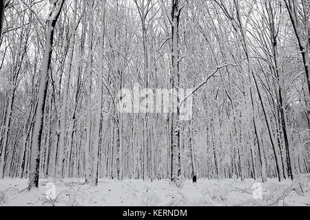 Snow-covered trees plants forest. Natural winter Christmas New Year background. Woodland snow under. - Stock Image