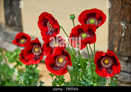 Red poppies standing outside Anne Hathaway's Cottage in Stratford upon Avon - Stock Image