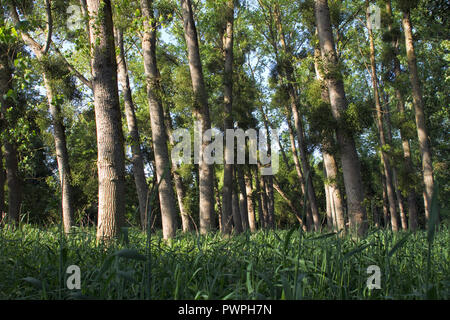 France, department 44, poplar grove on the banks of the Loire, spring. - Stock Image