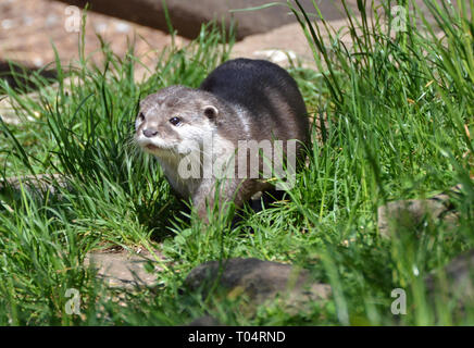 European Otter at Tropical Wings Zoo, Chelmsford, Essex, UK. This zoo closed in December 2017. - Stock Image