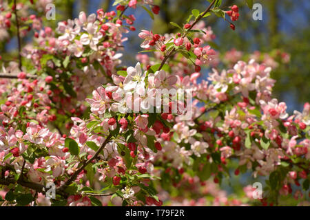 malus floribunda or japenese crab or purple chokeberry in spring, showy crabapple branches in bloom - Stock Image