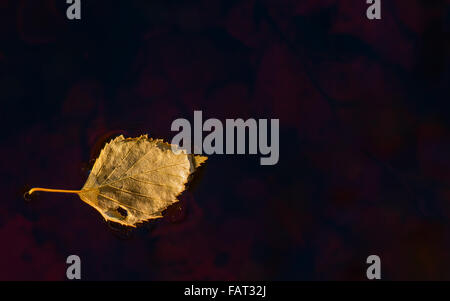 Single dead birch leaf floating in water - Stock Image